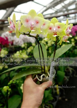 "Phal Yaphon Green Batman "" ES Peloric' (Brother Sara Gold x Chiada Spark)"