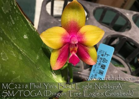 Phal. Yin's Black Eagle 'Nobby-A' SM/TOGA (Dragon Tree Eagle x Grosbeak)