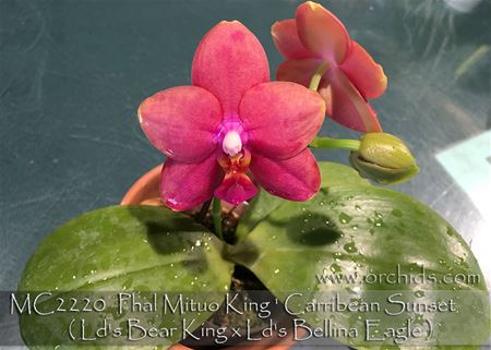 Phal Mituo King ' Carribean Sunset '