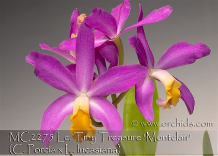 Lc. Tiny Treasure 'Montclair'  (C. Porcia x L. lucasiana)