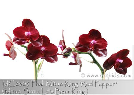 Phal. Mituo King 'Red Pepper'  (Mituo Sun x Ld's Bear King)