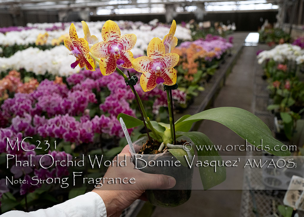 Phal. Orchid World 'Bonnie Vasquez' AM/AOS ( x )