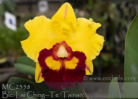 Blc. Lai Ching--Te 'Tainan'  (Village Chief Rose x Liu's Joyance)