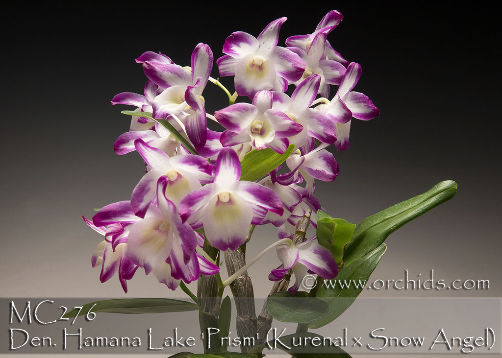 Den. Hamana Lake 'Prism' (Kurenal x Snow Angel)
