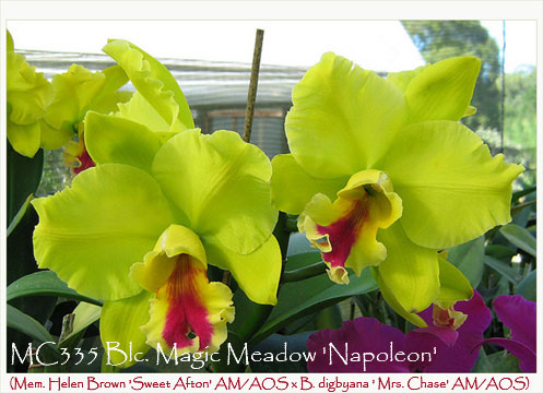 Blc. Magic Meadow 'Napoleon'  (Mem. Helen Brown 'Sweet Afton' AM/AOS x B. digbyana ' Mrs. Chase' AM/AOS)