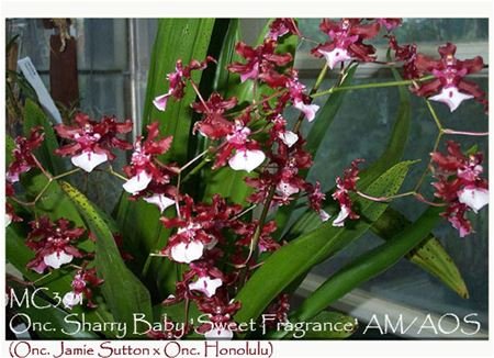 Onc. Sharry Baby 'Sweet Fragrance' AM/AOS (Onc. Jamie Sutton x Onc. Honolulu)
