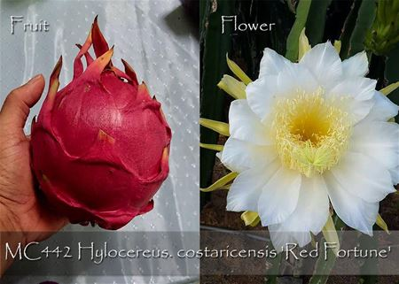 Hylocereus. costaricensis 'Red Fortune'