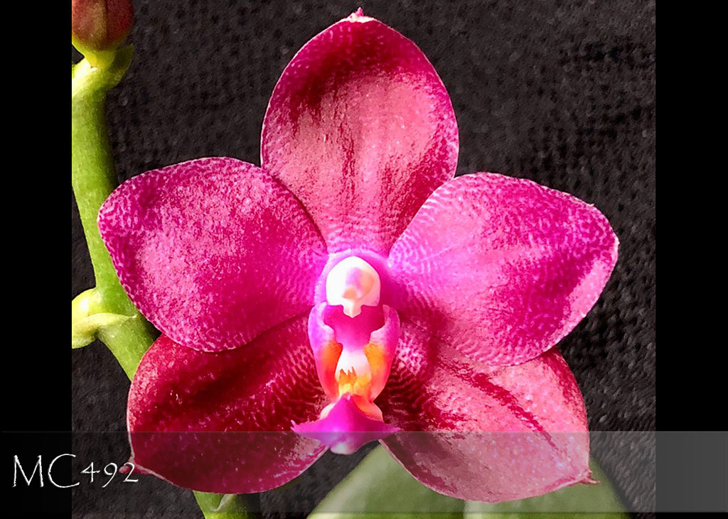 Phal Chienlung Happy Queen ' FANGtastic' ( K S Happy Eagle x Ld's Bear Queen )
