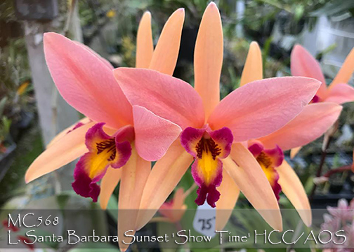 L. Santa Barbara Sunset 'Show Time' HCC/AOS (anceps x Ancibarina)