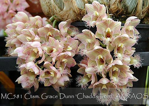 Cl. Grace Dunn 'Chadds Ford' AM/AOS (rosea x warczewitzii)