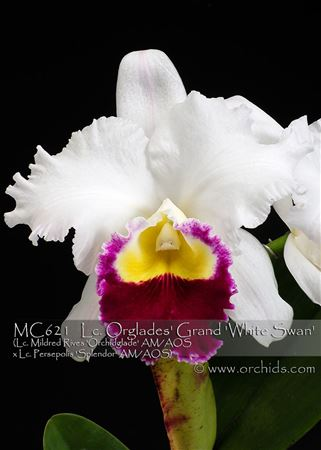 Lc. Orglades' Grand 'White Swan'  (Lc. Mildred Rives 'Orchidglade' AM/AOS x Lc. Persepolis 'Splendor' AM/AOS)