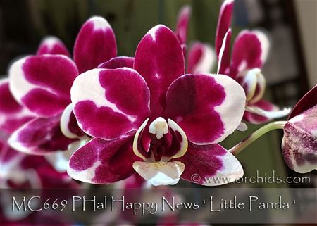 PHal Happy News ' Little Panda '