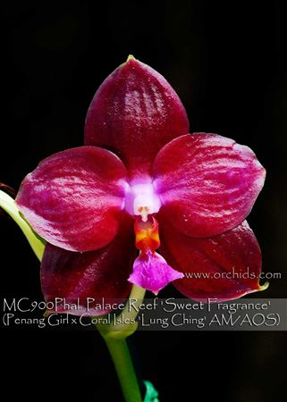 Phal. Palace Reef 'Sweet Fragrance'  (Penang Girl x Coral Isles ' Lung Ching ' AM/AOS)