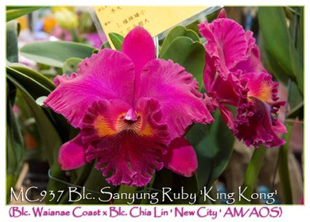 Blc. Sanyung Ruby 'King Kong'  (Blc. Waianae Coast x Blc. Chia Lin ' New City ' AM/AOS)
