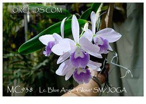 Lc. Blue Angel 'Glove' SM/JOGA (Lc. Blue Boy x Lc. Mini Purple)