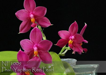 Phal. Yaphon Red Pearl (  Singher Pure Love x Samera ' Red ' )