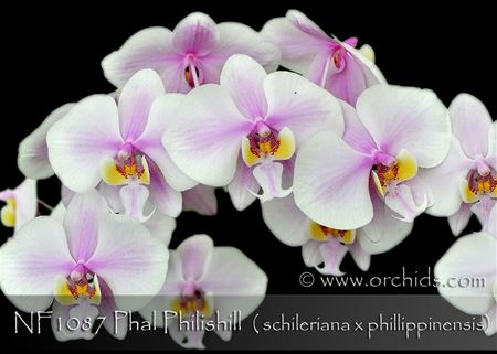 Phal Philishill (schileriana x phillippinensis)