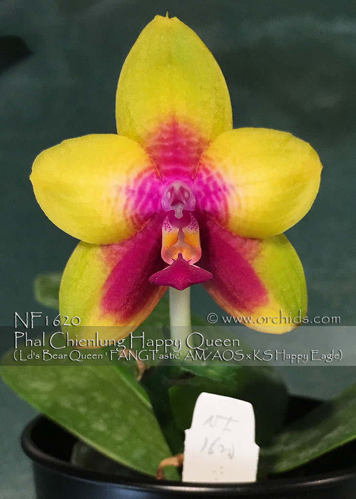 Phal Chienlung Happy Queen ( Ld's Bear Queen ' FANGTastic' AM/AOS x KS Happy Eagle