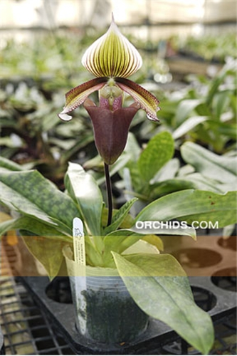 Paph. curtisii  (curtisii 'Skyrockets' AM/AOS x curtisii 'St. Mary's' AM/AOS)