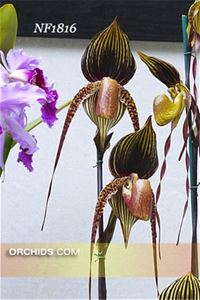 Paph. Wossner Black Wing  (rothschildianum x anitum)