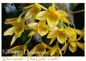 Den. senile (Den. senile ' Thai Gold ' x self)