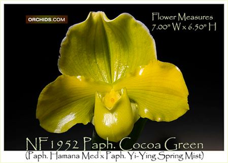 Paph. Cocoa Green  (Paph. Hamana Med x Paph. Yi-Ying Spring Mist)