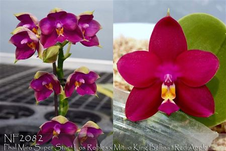 Phal Miro Super Star ' Los Robles x Mituo King Bellina ' Red Apple '