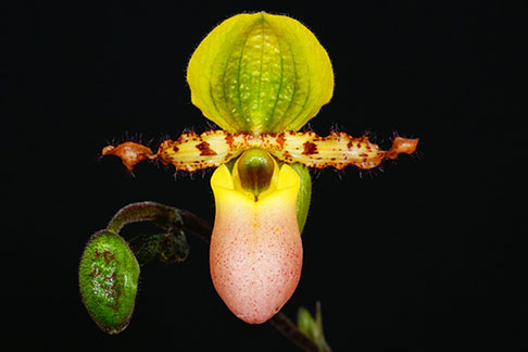 "Paph. primulinum var. purpurascens  ("" Bear -1 ' x self)"