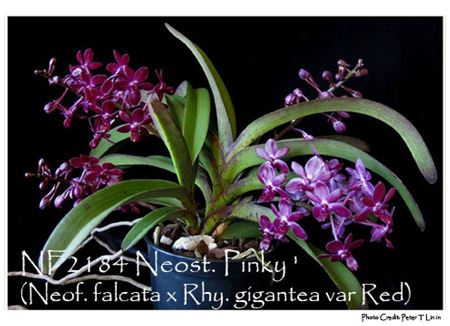 Neost. Pinky  (Neof. falcata x Rhy. gigantea var Red)