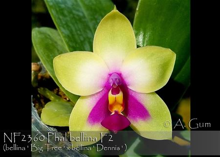 Phal bellina ( bellina' Big Tree' x bellina ' Dennis ')