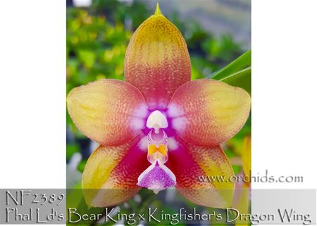 Phal Ld's Bear King x Kingfisher's Dragon Wing