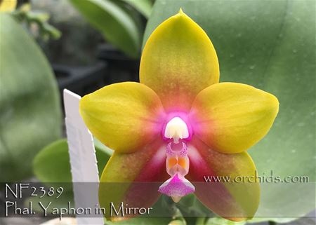 Phal. Yaphon in Mirror (Ld's Bear King x Kingfisher's Dragon Wing)