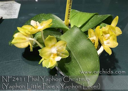 Phal Yaphon Christmas (Yaphon Little Pixie x Yaphon Lover)