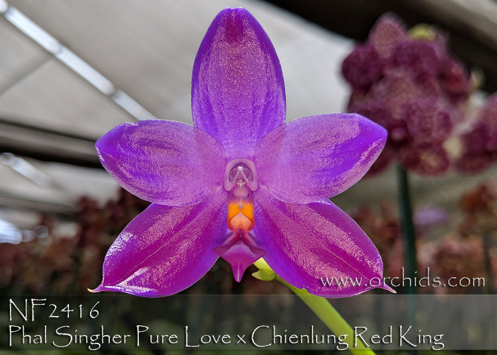 Phal Singher Pure Love x Chienlung Red King
