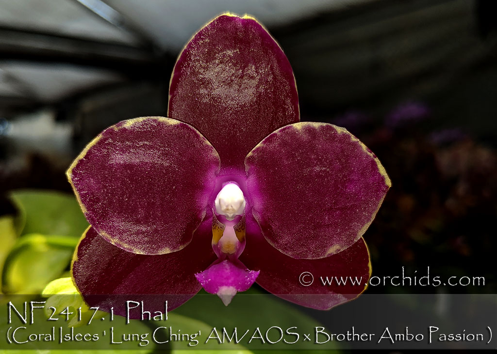 Phal Coral Islees ' Lung Ching' AM/AOS x Brother Ambo Passion