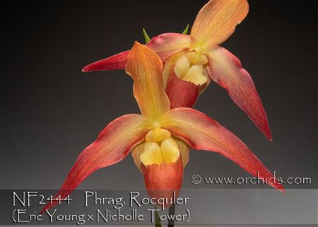 Phrag. Rocquier  (Eric Young x Nicholle Tower)