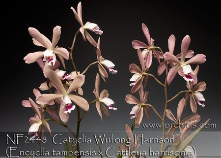Cty. Wufong Harrison (Encyclia tampensis x Cattleya harrisonia)