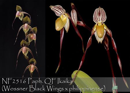 Paph. QF Ikaika  (Wossner Black Wings x philippinense)