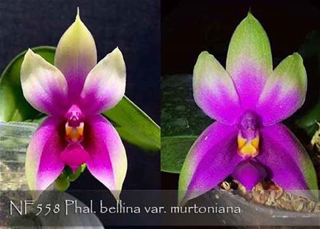 Phal. bellina var. murtoniana (bellina ' Jungle' x bellina ' Wild Thing ')