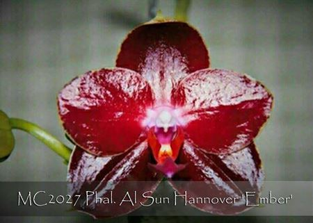 Phal. Al Sun Hannover 'Ember'  (Mituo Sun x Hannover Passioin ' Ching Ruey' AM/AOS)
