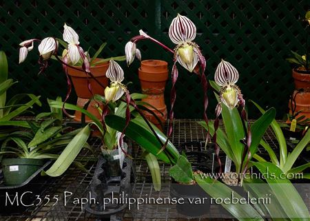 Paph. philippinense var roebelenii  (philippinense ' Angel Wings' HCC/AOS x philippinense ' Easter Parade' HCC/AOS)